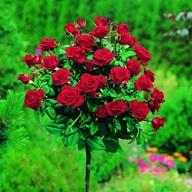 rozen snoeien 1
