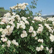 rozen snoeien 2