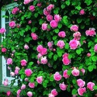rozen snoeien 3