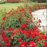rozen snoeien 4